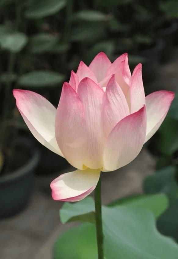 Lotus 01